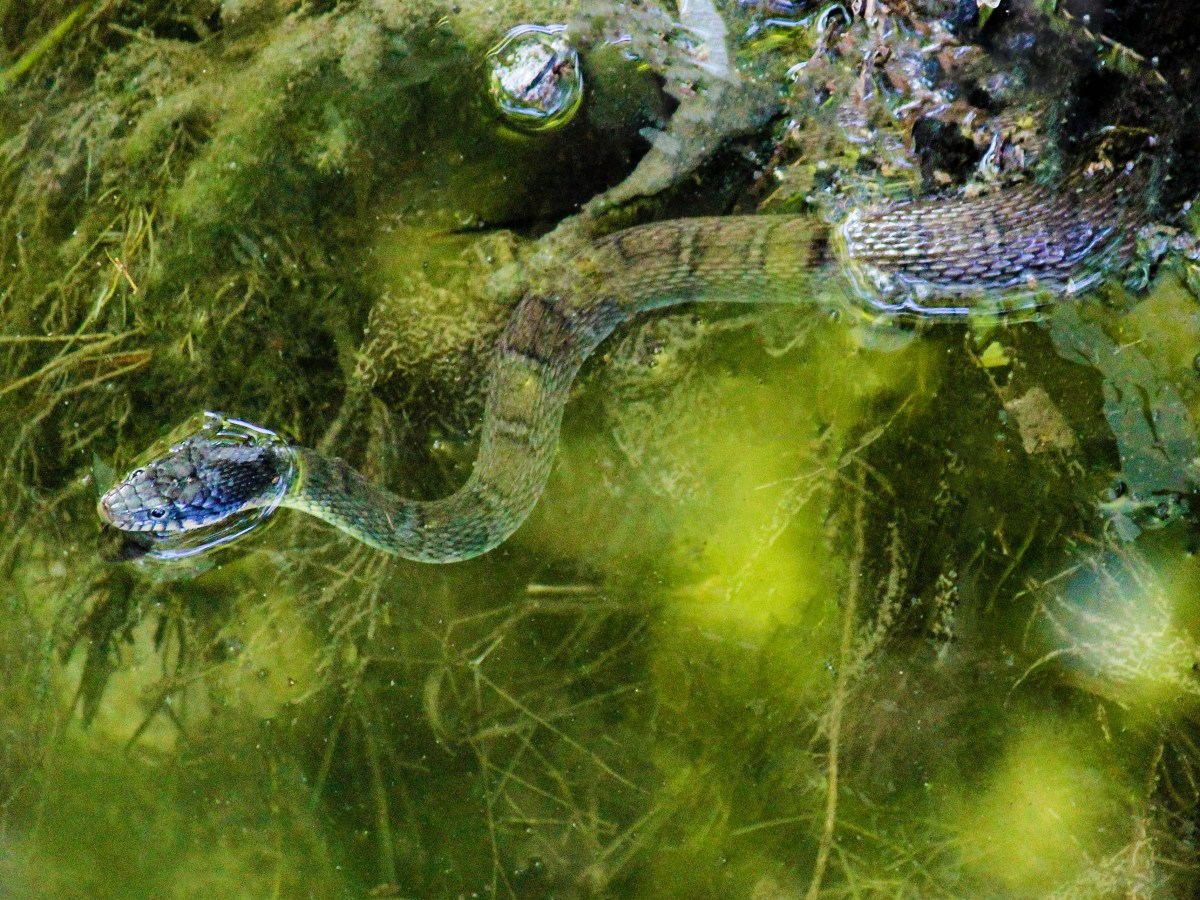 texas rat snake in a creek in plano, texas