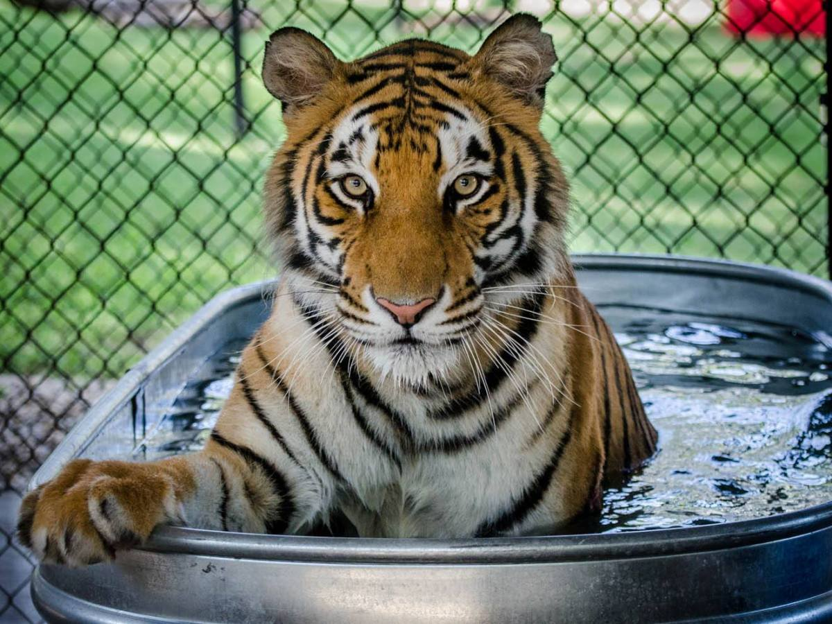 tiger in a water bath