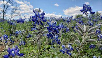 Zion Cemetery bluebonnets