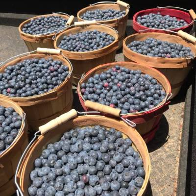 the fruit of blueberry picking labors.   photo courtesy of the blueberry farm on facebook