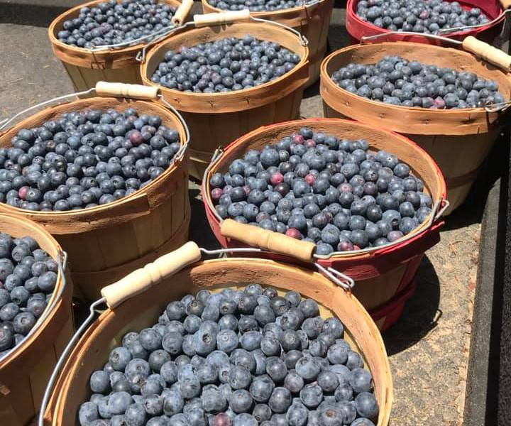the fruit of blueberry picking labors. | photo courtesy of the blueberry farm on facebook