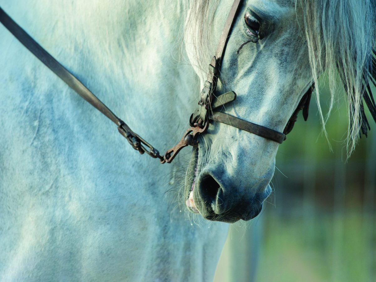 the andalusian horse is an ancient, rare spanish breed of horse... and they're right in celina.