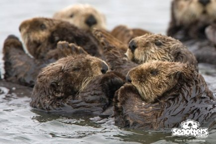 Sea Otter Cam