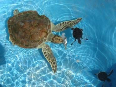 Tortugas en Cayo largo cuba