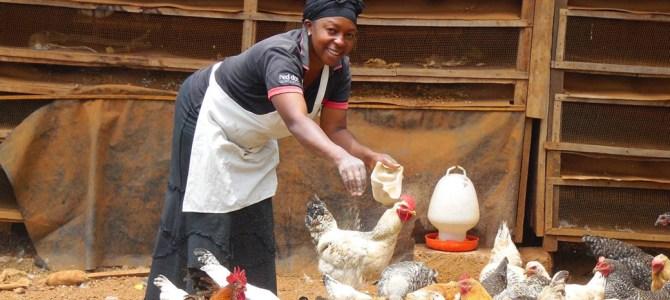 Tough times, tough birds: Kenyan farmers swap back to hardy chickens