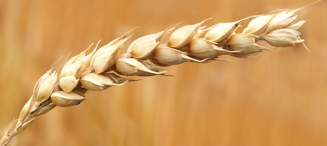 One giant leap for wheat as its massive genome is mapped