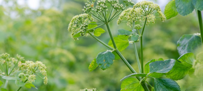 Foraging recipes – alexanders