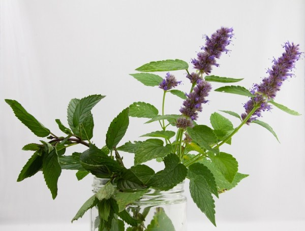 fresh herbs of anise hyssop and peppermint from