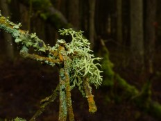 Evernia prunastre