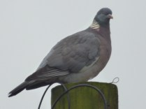 Woodpigeons are very flirty
