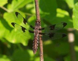 Common Whitetail female