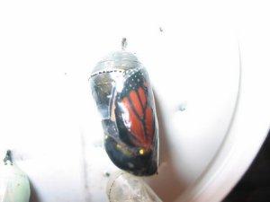 monarch-cocoon