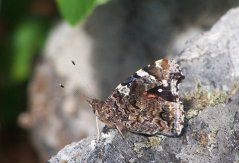 Red Admiral Underwing