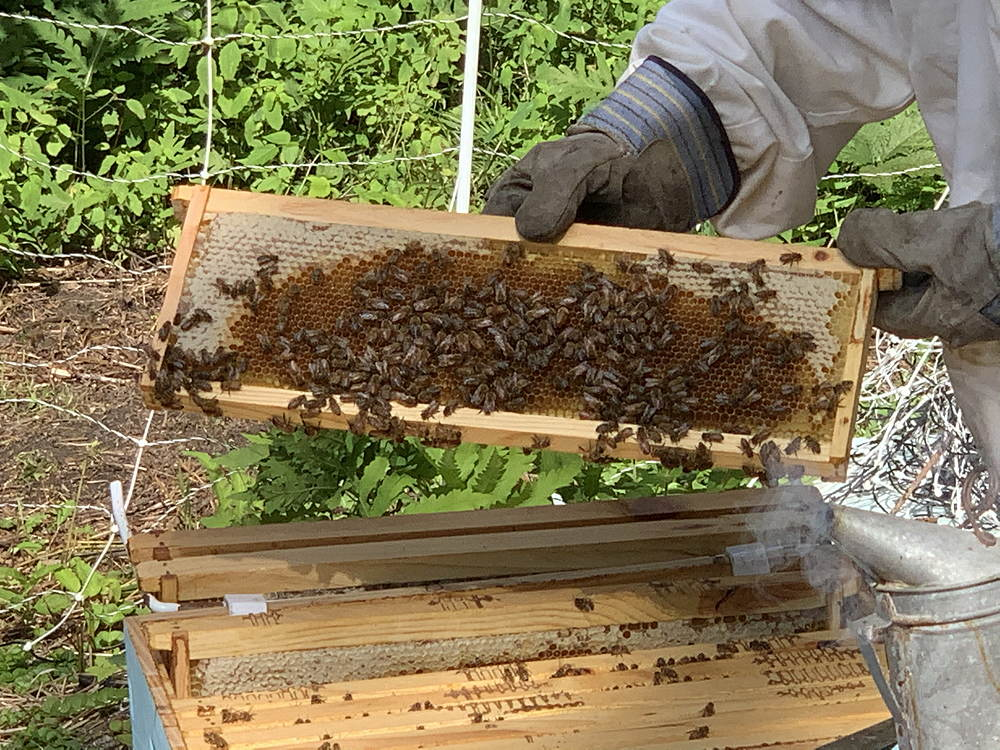A frame with bees and some capped honey on the corners