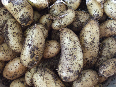 Freshly harvested la ratte potatoes
