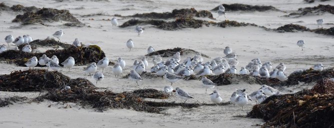 Ahhh, the snowy plover, a thorn in the side of beach lovers.
