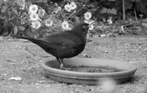 blackbird drinking© Lodewijk Muns 2018