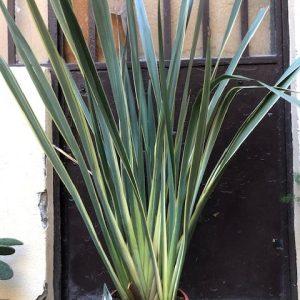 phormium variegata oeil vegetal lyon