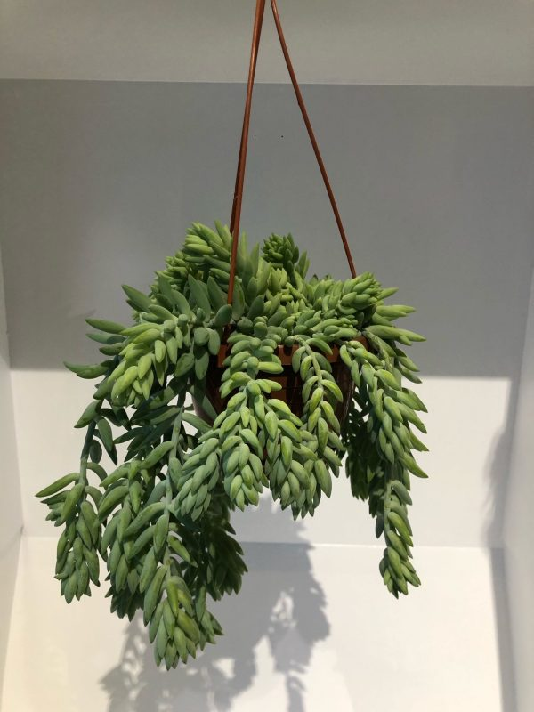 sedum oeil vegetal lyon