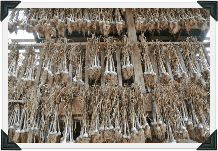 garlic hanging in the barn to dry
