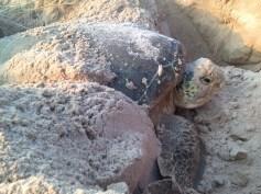 CM dawn turtle IMG_3642