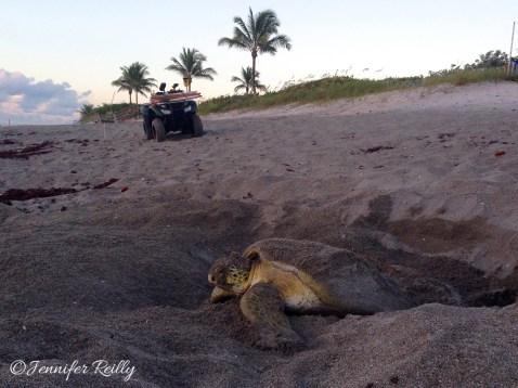 CM dawn turtle 1 (1)