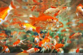 Teich Fische