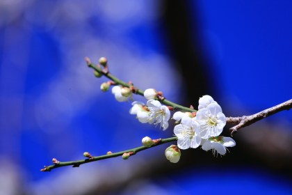 plum blossom blooming n sunshine winter