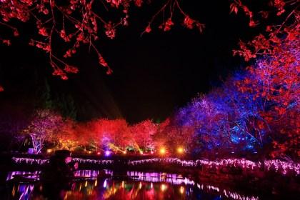 sakura blooming at night
