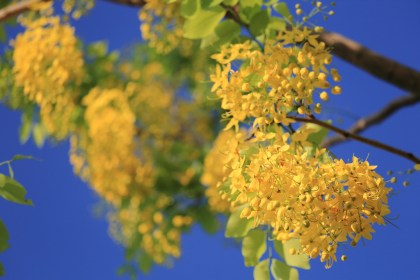 butterfly-and-golden-shower-tree