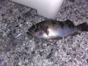 【釣行記録】【須磨海岸】釣ったメバルを食べたい!目指せ、脱小メバル!目指せ、キープサイズメバル!
