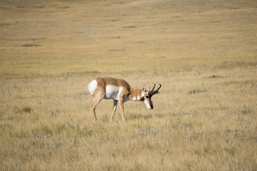Guided antelope hunting.