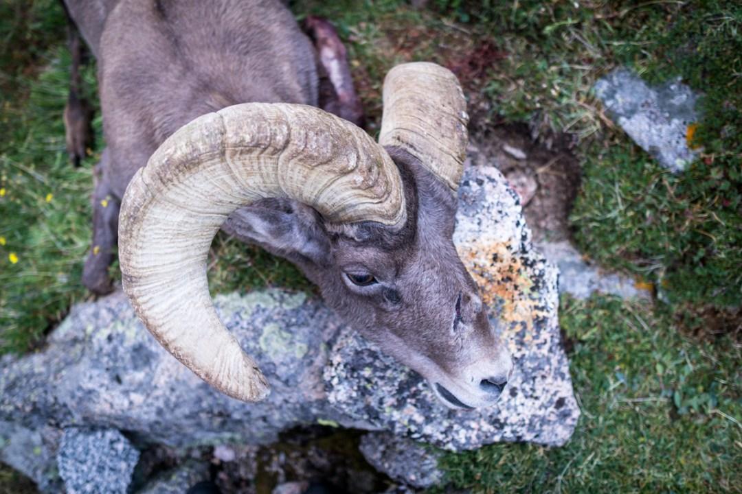 Bighorn Sheep hunts