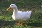 958966-duck