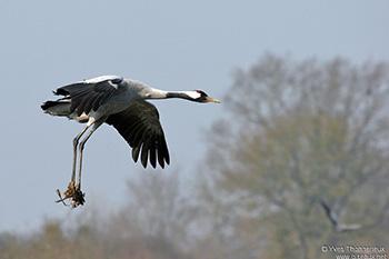 grue cendrée migration loir et cher les oiseaux migrateurs