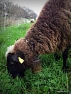 transhumance des moutons de Sologne en Val de Loire à Pouilly sur Loire