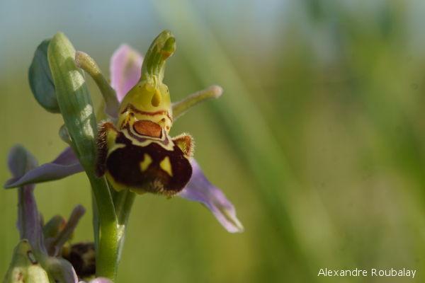 Orchidée sauvage en Val de Loire : où la découvrir ?