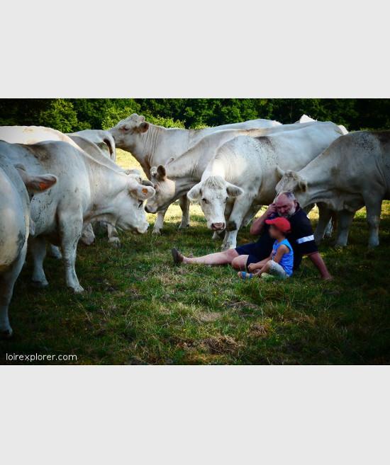 voyage insolite au centre de la france vache charolaise idée d'excursion