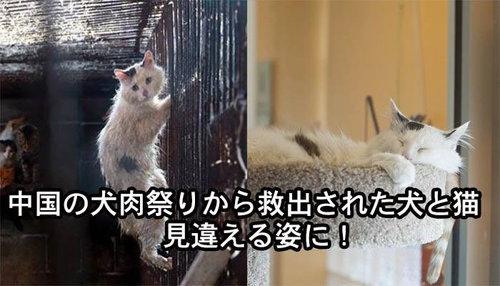 中国の犬肉祭りから救出された犬と猫、見違える姿に!