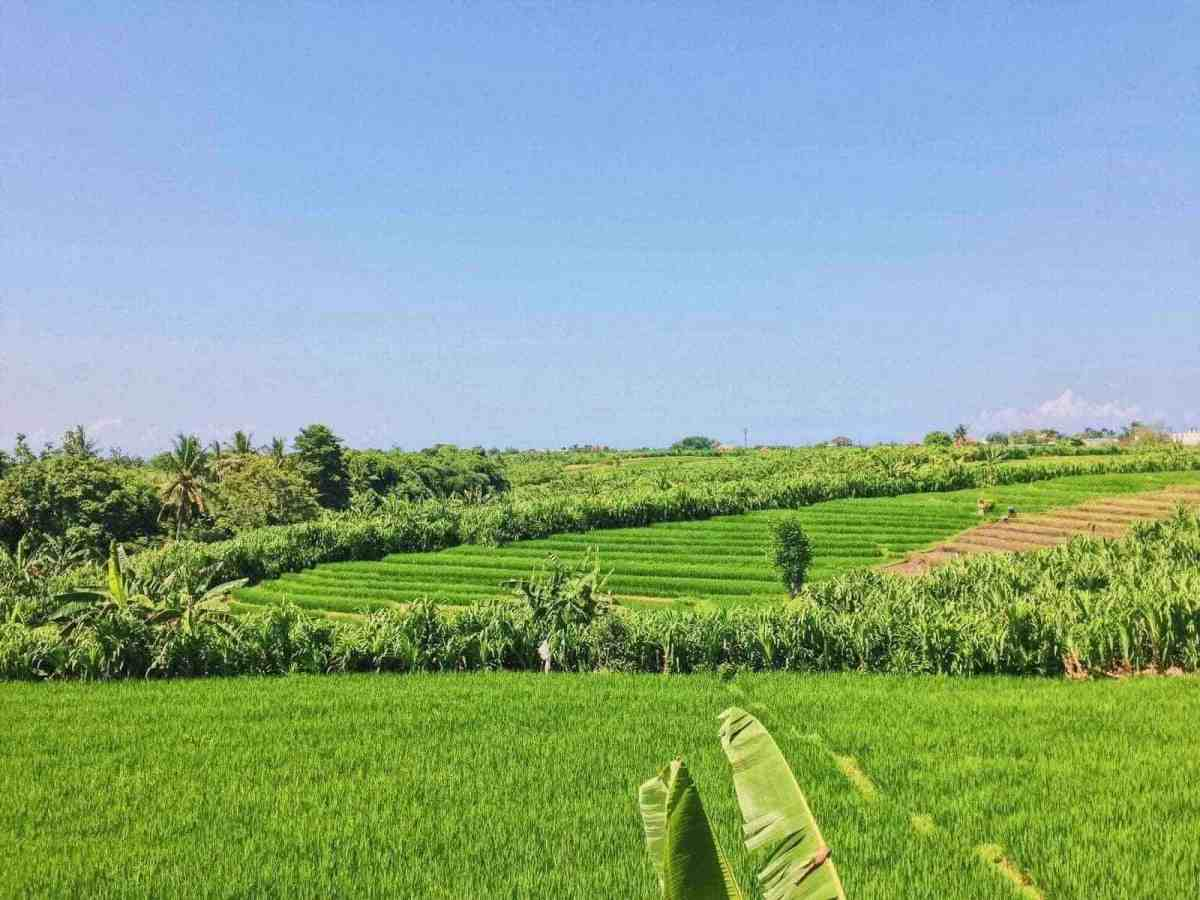 ricefield view bali