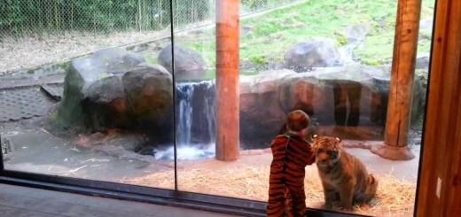 Tigre persegue criança vestida de tigre