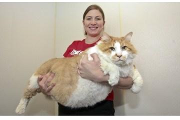 gato mais gordo do mundo