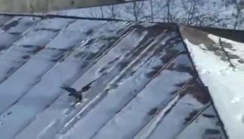 O que um corvo faz para se divertir