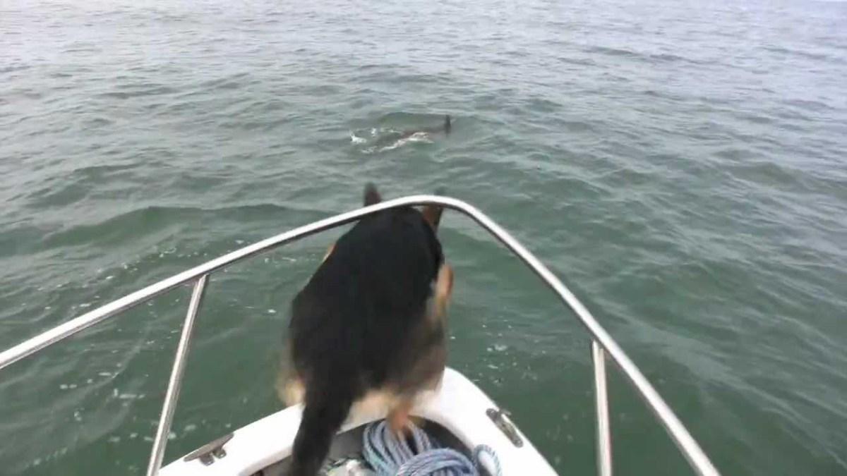 Pastor alemão decide saltar do barco e brincar com golfinhos!
