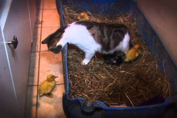 3 patinhos bebés adotados por gata