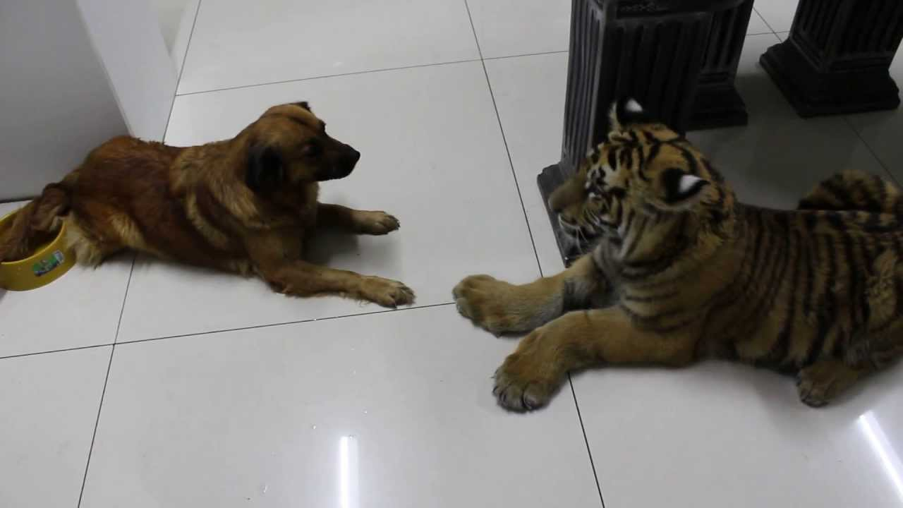 Cão encontra tigre pela primeira vez e mostra quem manda