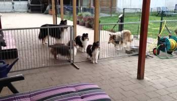 Cães educados esperam pacientemente pelo almoço