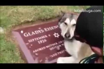Husky chora na campa do dono