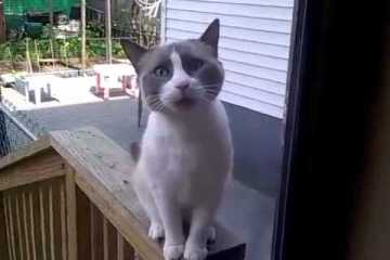 Gato implora para entrar em casa