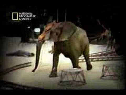 Ataque de Elefante no Hawai